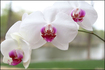 Trademark Art - White Orchid by Cary Hahn - White
